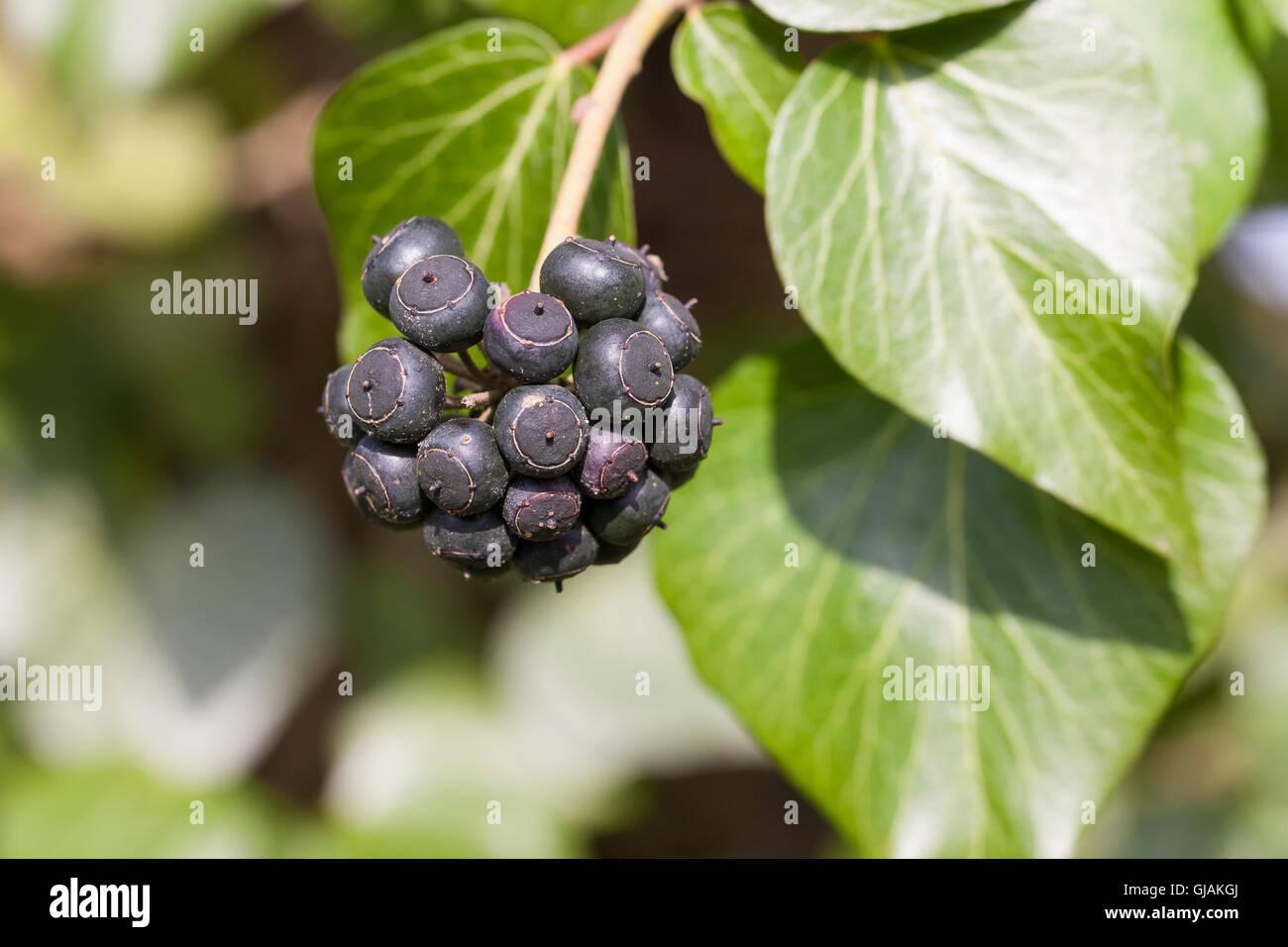 Efeu Frucht Früchte Beere Beeren Hedera Helix Common Ivy Stock