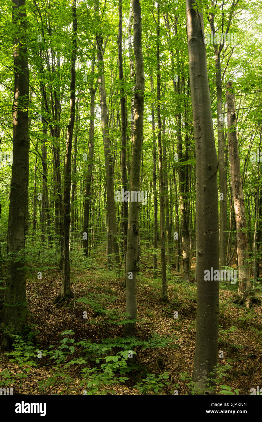 Beeches are widespread in the temperate zone of europe asia and beeches are widespread in the temperate zone of europe asia and north america its wood is used for the manufacture of musical altavistaventures Image collections