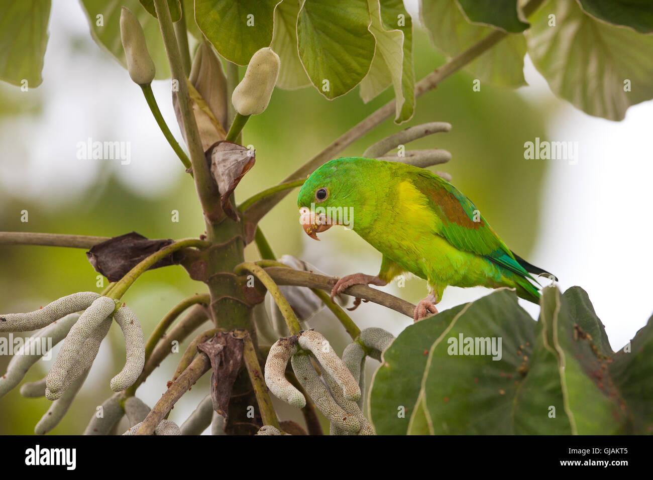 Orange-chinned Parakeet, Brotogeris jugularis, feeding on a Cecropia tree in Soberania national park, Republic of Stock Photo