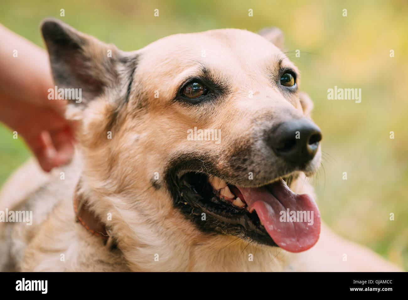 Close Up Of Medium Size Mongrel Mixed Breed Short-Haired Yellow Adult Female Dog With Tongue In Collar On Green Stock Photo