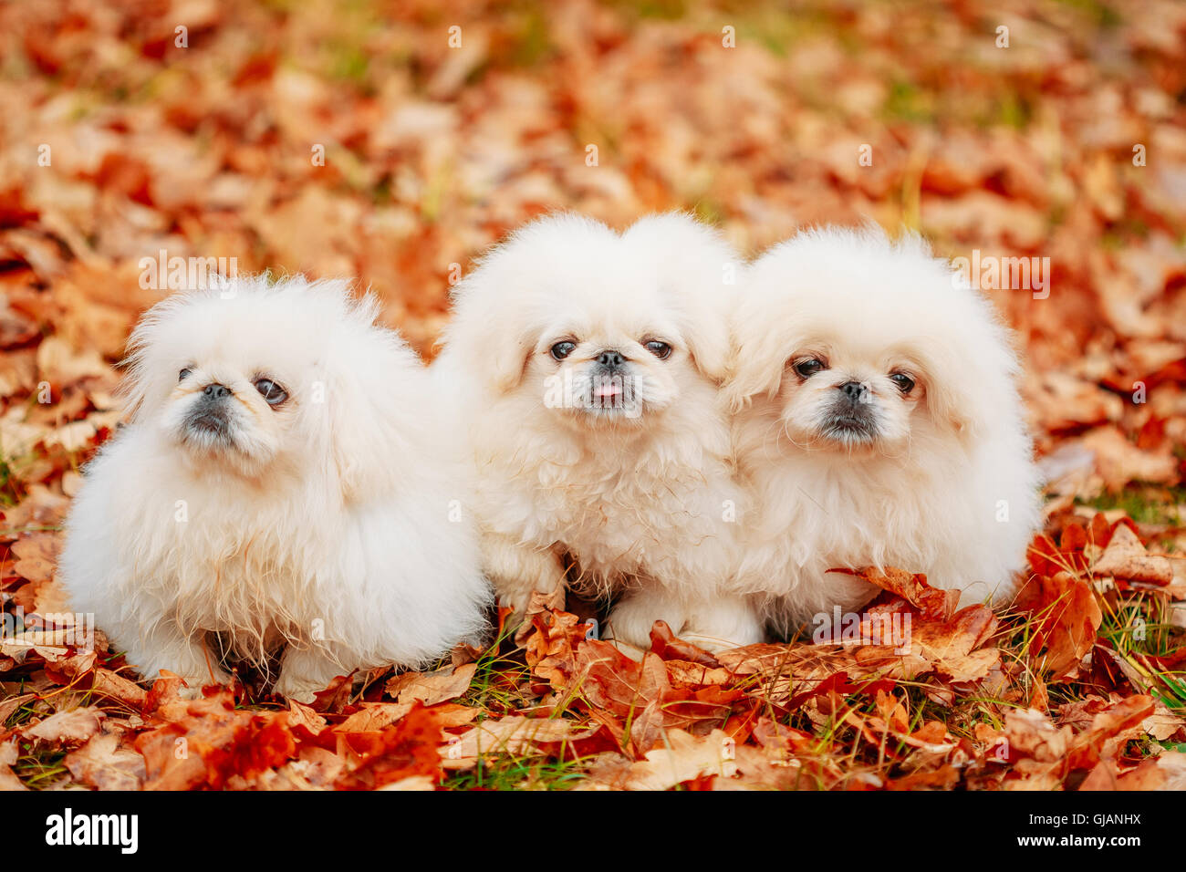 White Pekingese Pekinese Puppies Dog Sitting On Yellow Orange Fall