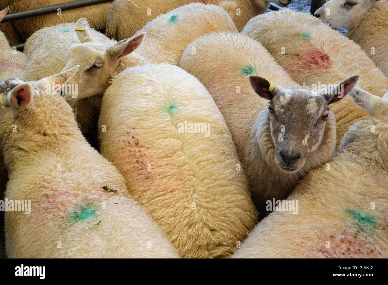 Sheep in pen waiting for auction - Stock Image