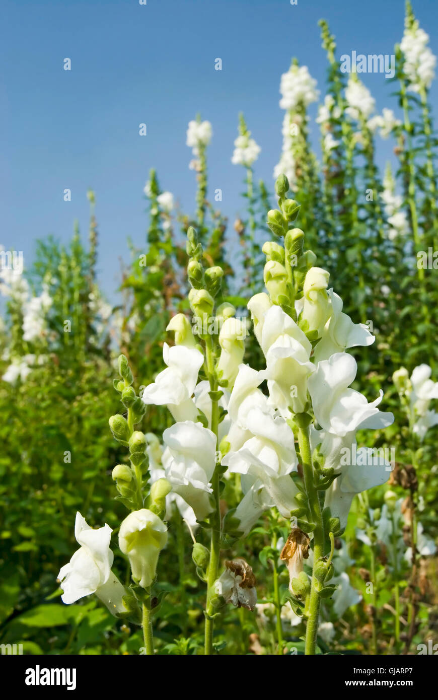 Wild Snapdragon Flowers Stock Photos Wild Snapdragon Flowers Stock