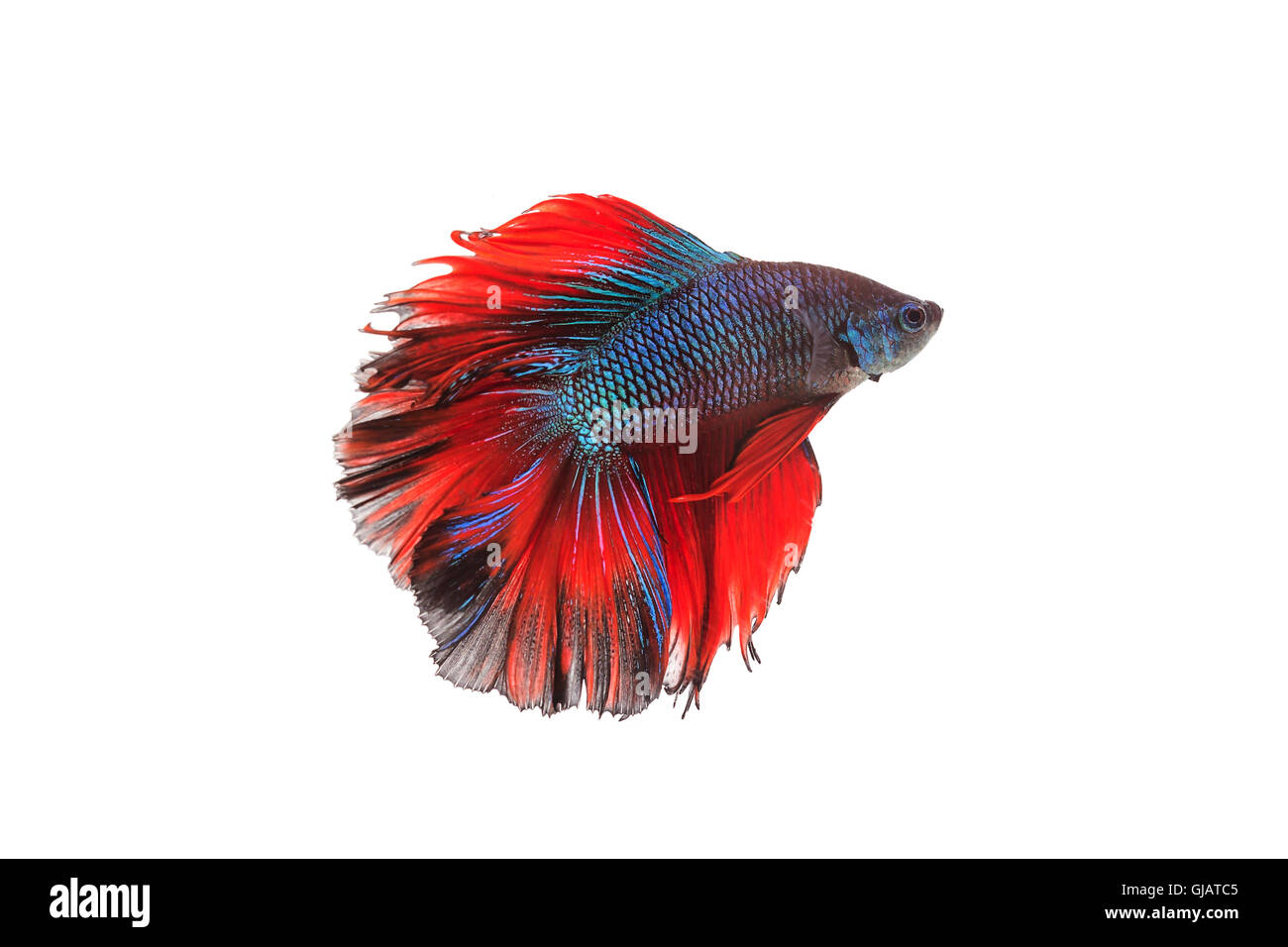 Siamese fighting fish or betta fish isolated on white background. Stock Photo