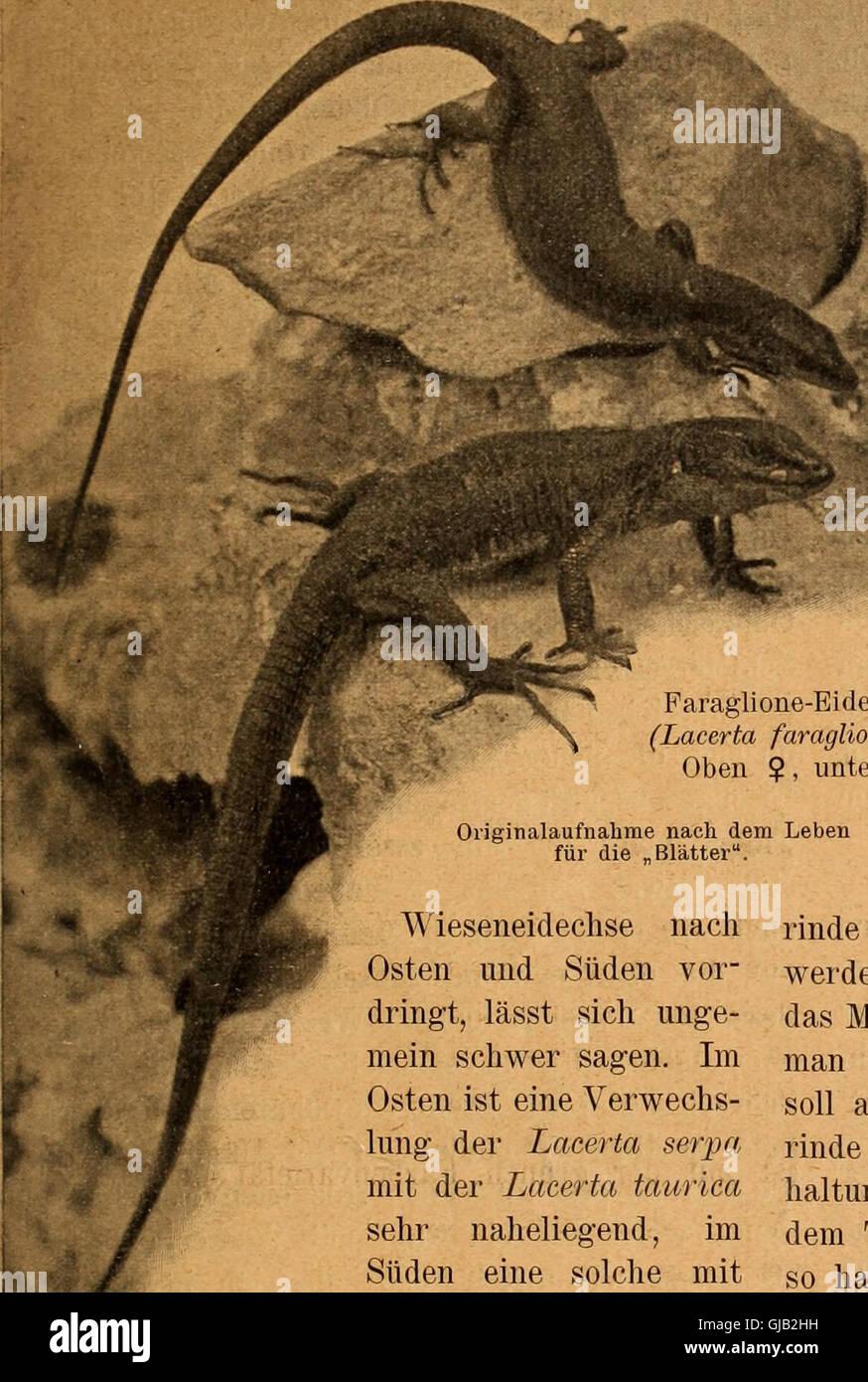Blätter für Aquarien- und Terrarien-Kunde (1902) Stock Photo
