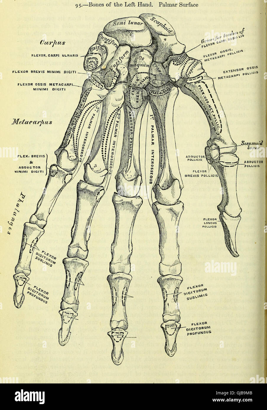 Anatomy, descriptive and surgical (electronic resource) (1860 Stock ...