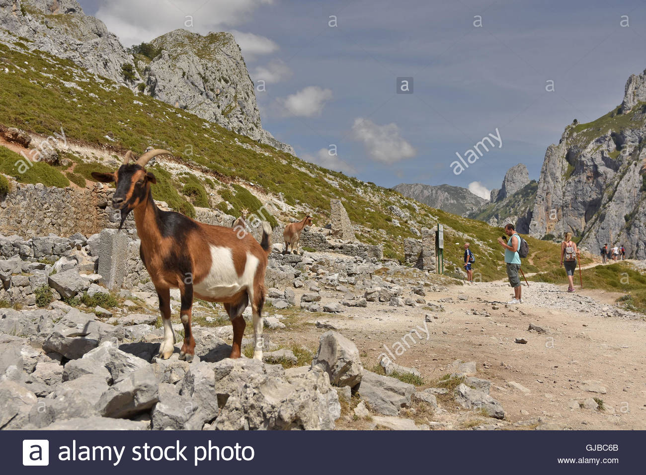Mountain goats along the Cares Gorge route between towns of Poncebos and Cain in Picos De Europa National Park Northern - Stock Image