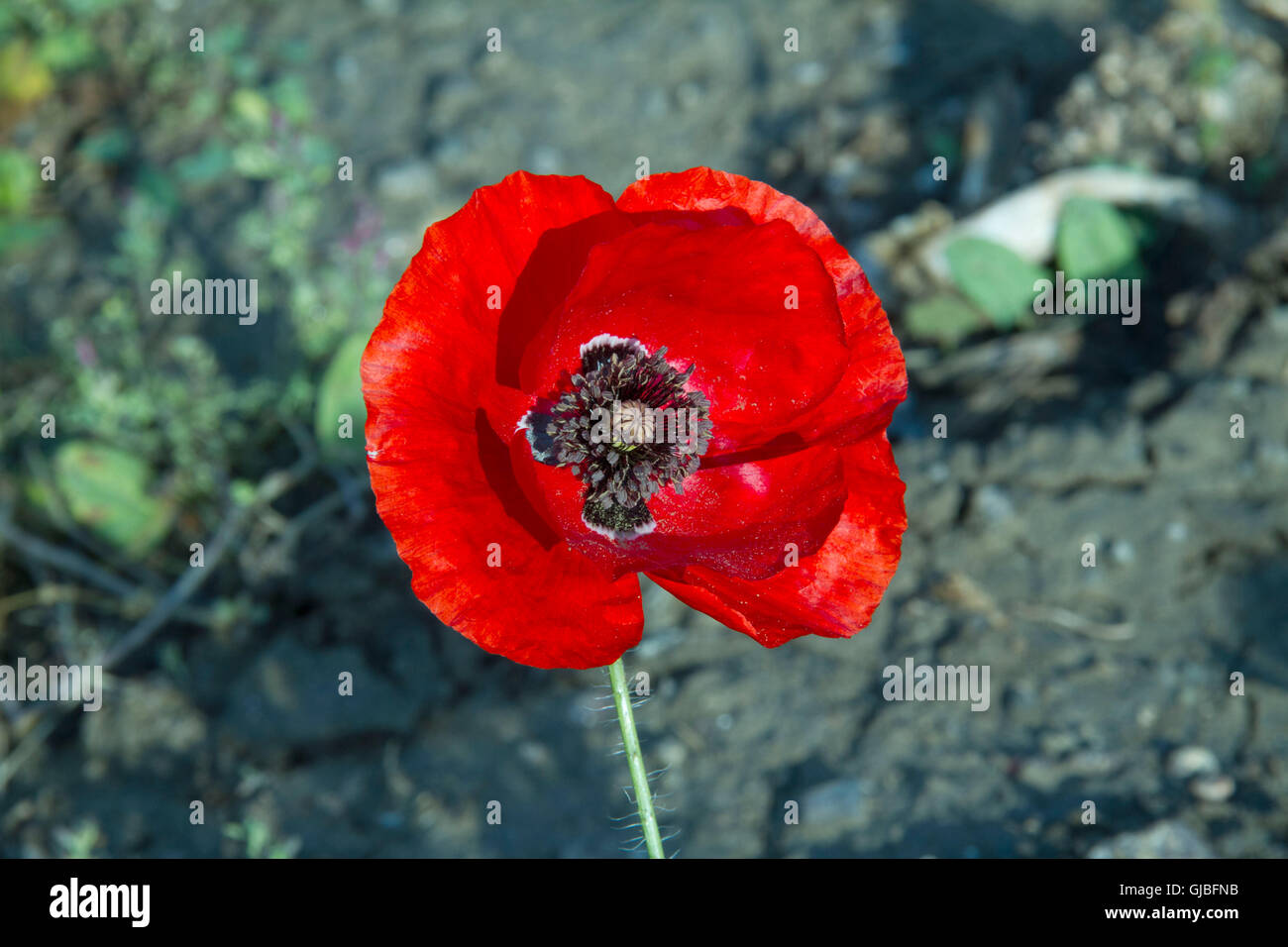 A single red poppy - Stock Image