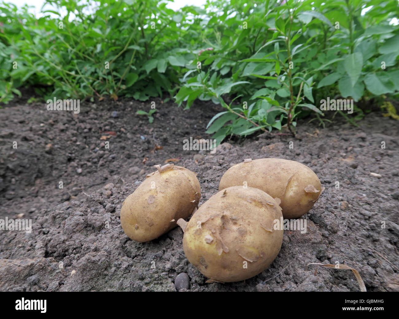 Where potatoes come from, tubers in a hand, in field of potato crop,Cheshire,North West England, UK - Stock Image