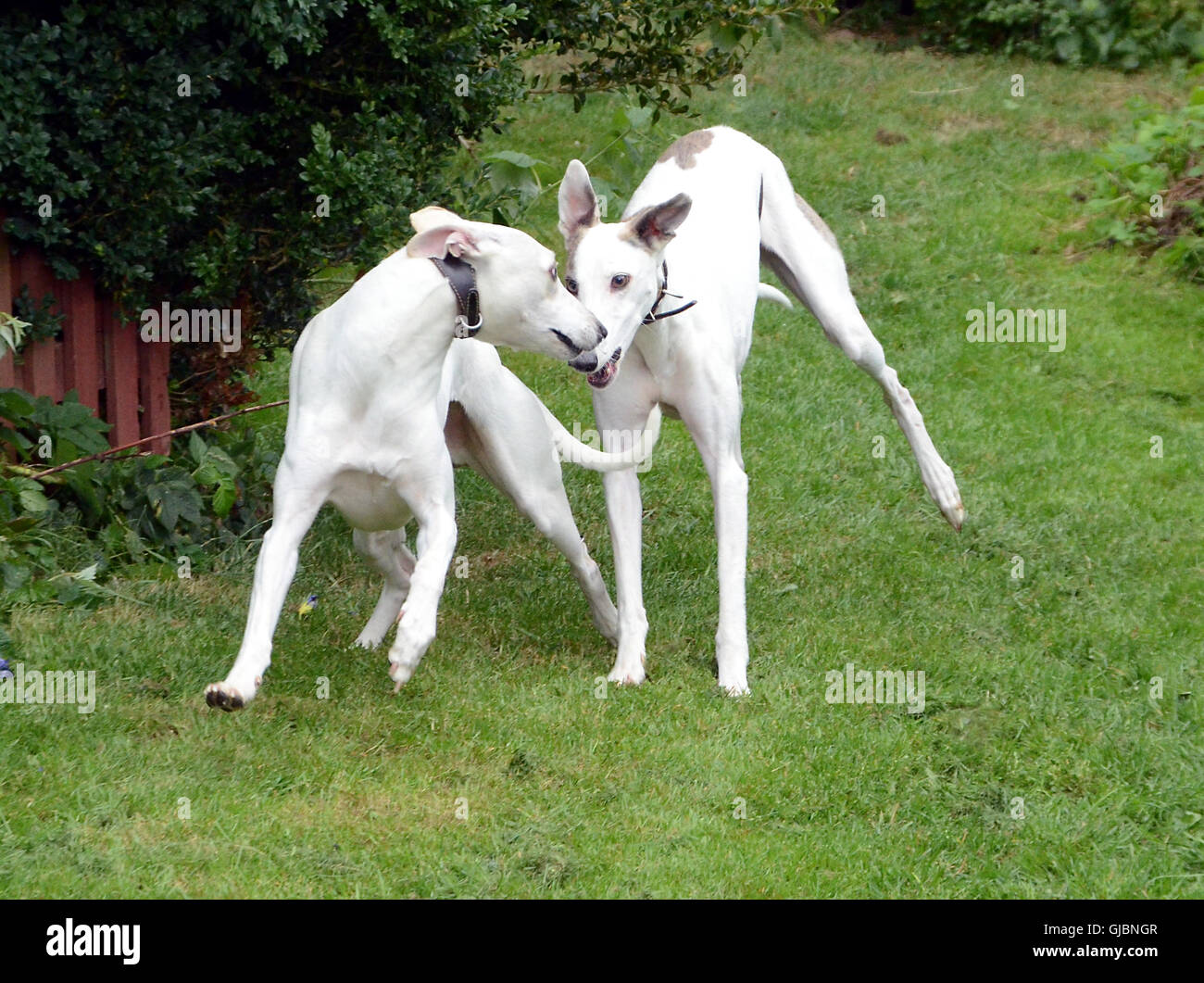 Two dogs, a whippet and a galgo play and race. - Stock Image