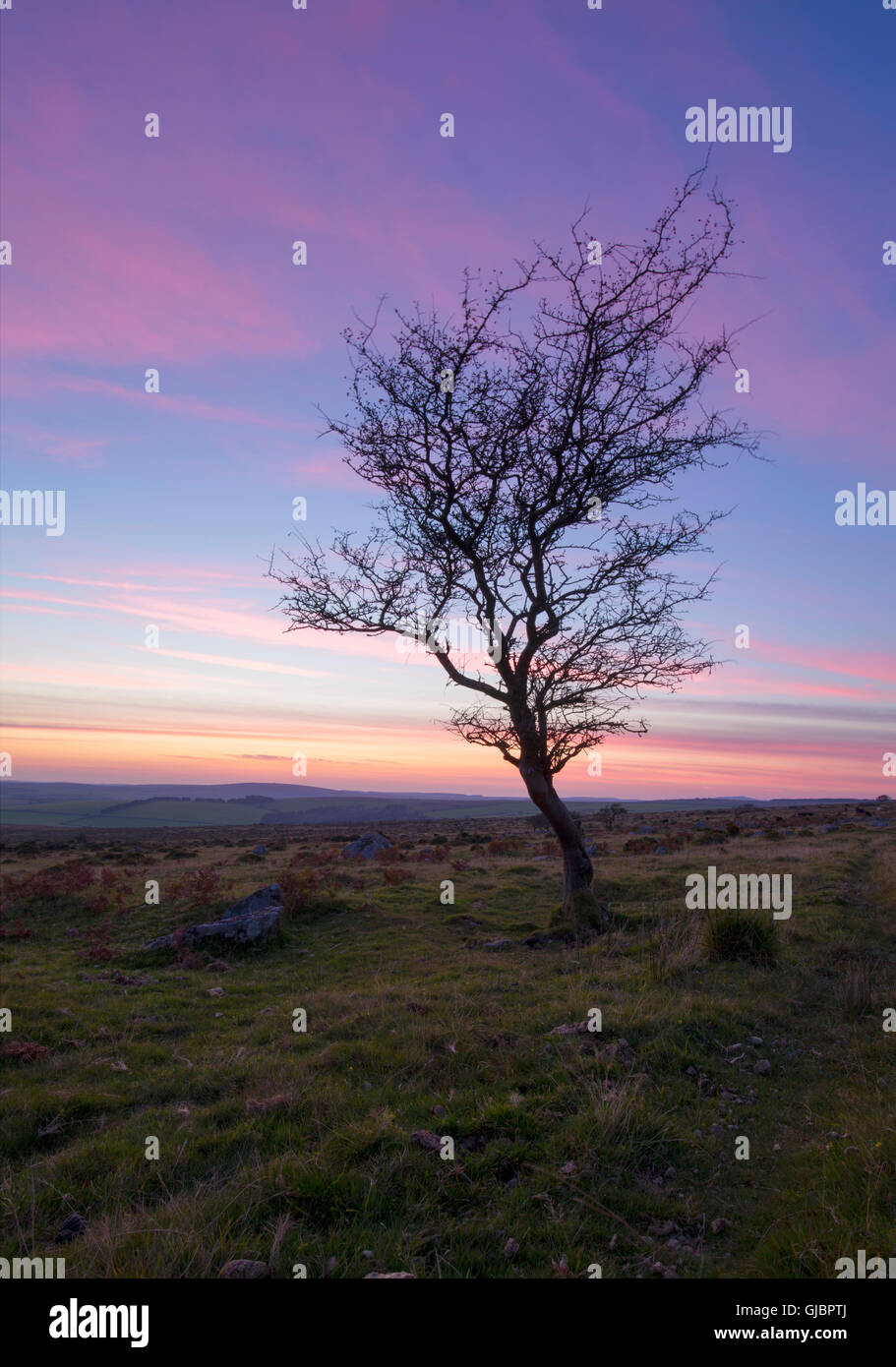 Lone tree on bodmin moor at sundown - Stock Image