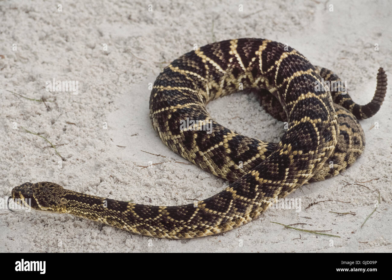 A venomous Eastern diamondback rattlesnake (Crotalus adamanteus) slithering across the sand flicks out its tongue Stock Photo