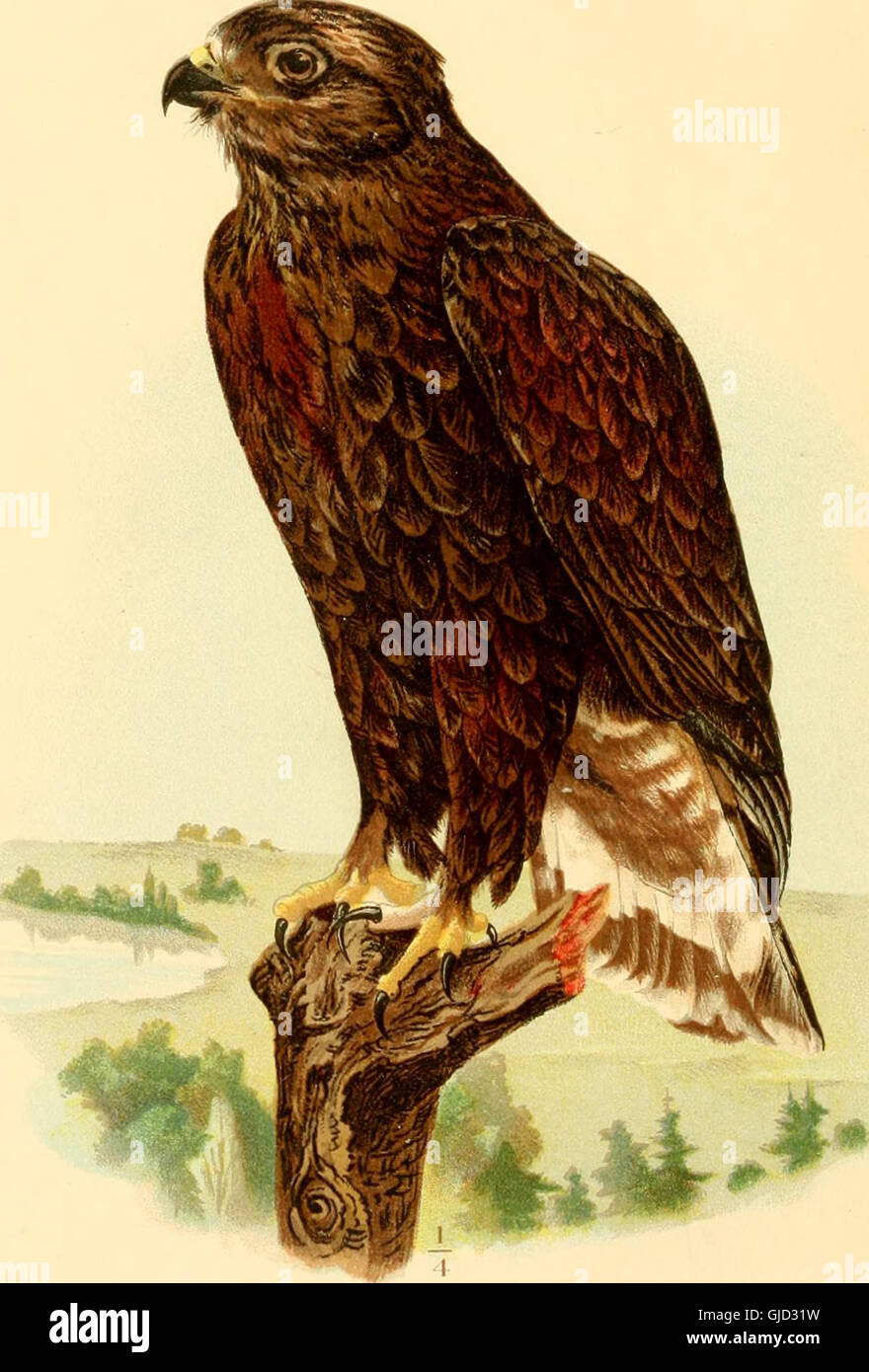Diseases and enemies of poultry (1897) Stock Photo
