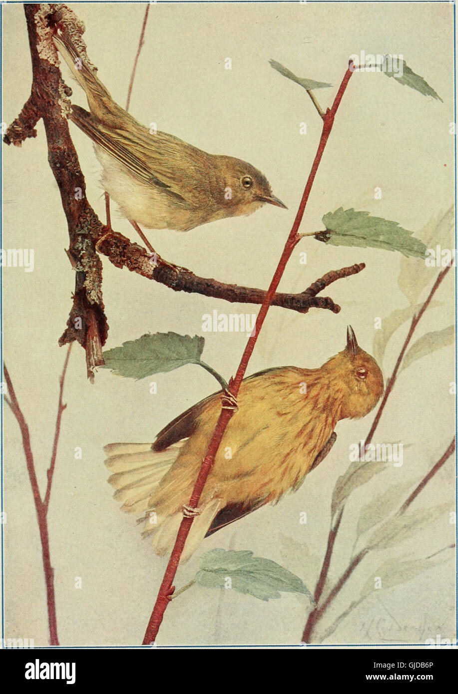 Bird neighbors. An introductory acquaintance with one hundred and fifty birds commonly found in the gardens, meadows, Stock Photo