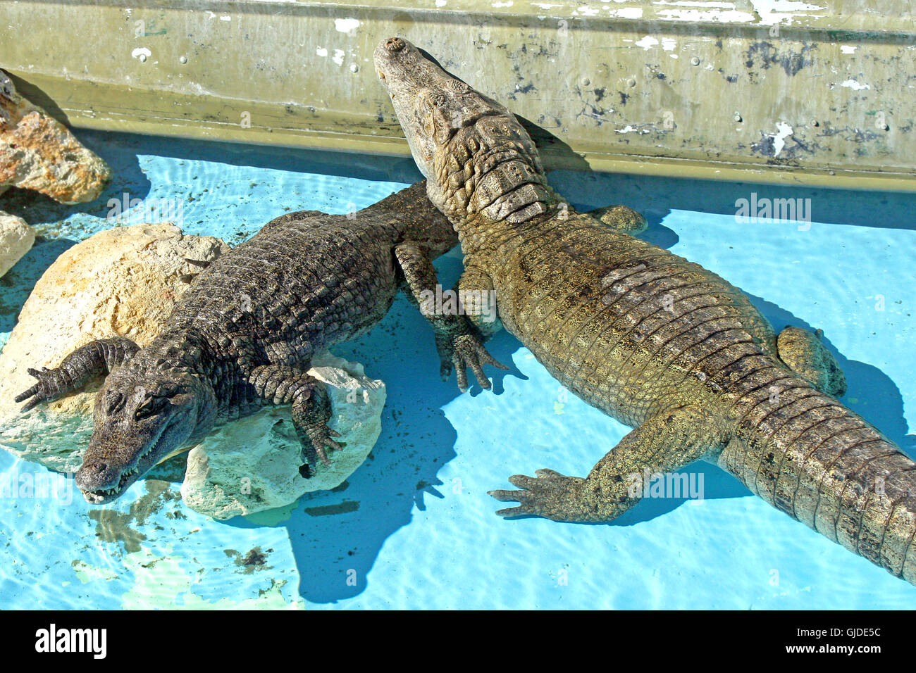 2 Alligators in an exhibit, water and rocks. - Stock Image