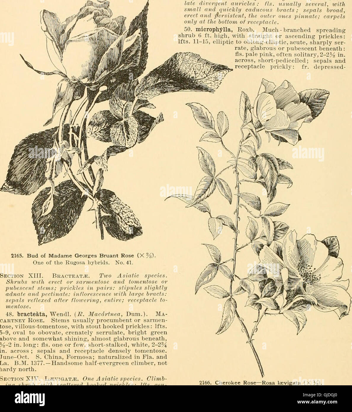 Cyclopedia of American horticulture - comprising suggestions for cultivation of horticultural plants, descriptions Stock Photo