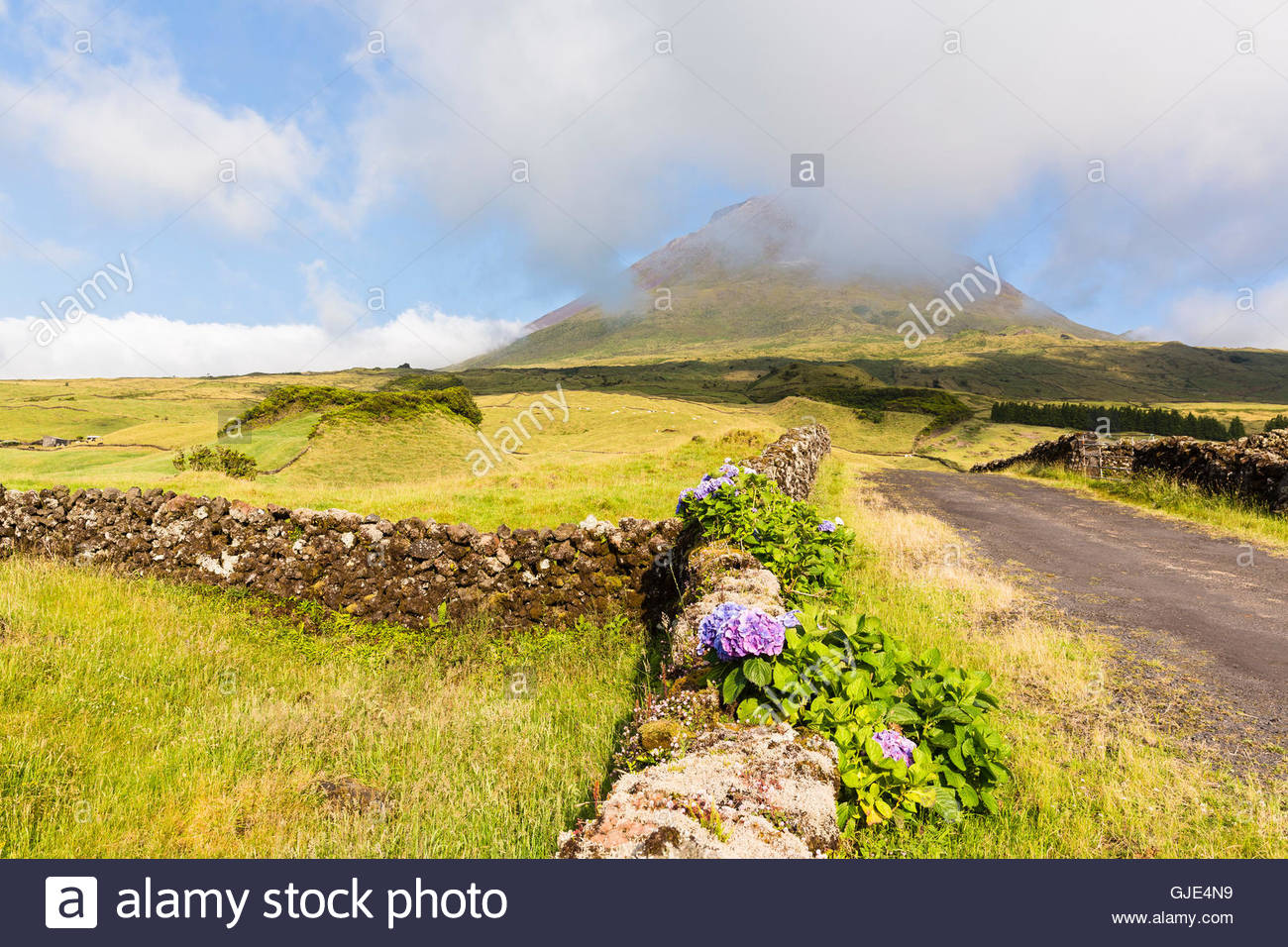 Hortensia blooming by a lava stone wall in front of pastureland and Mount Pico (2351 m) - Stock Image
