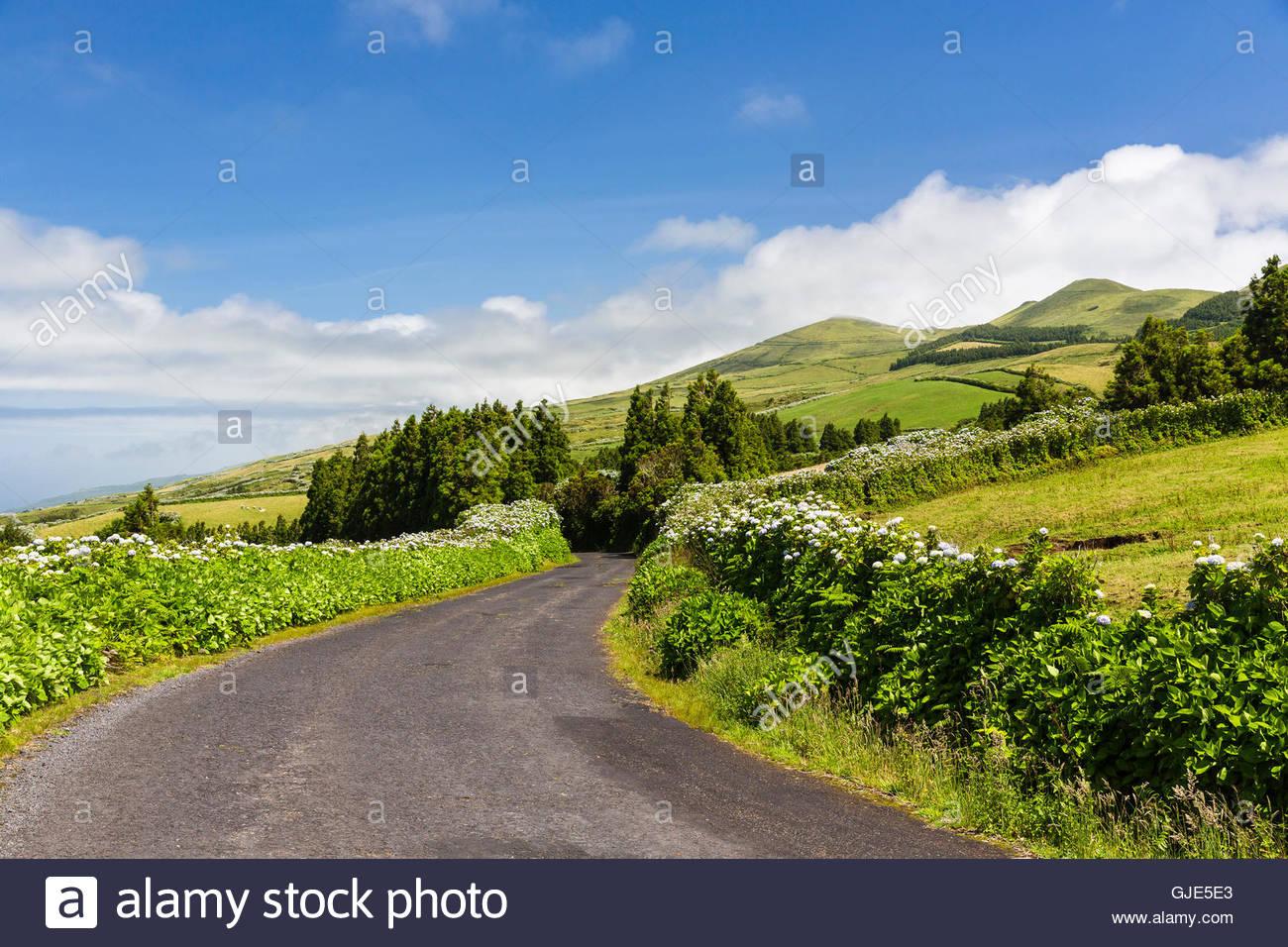 Hortensia blooming along roads through pastureland - Stock Image