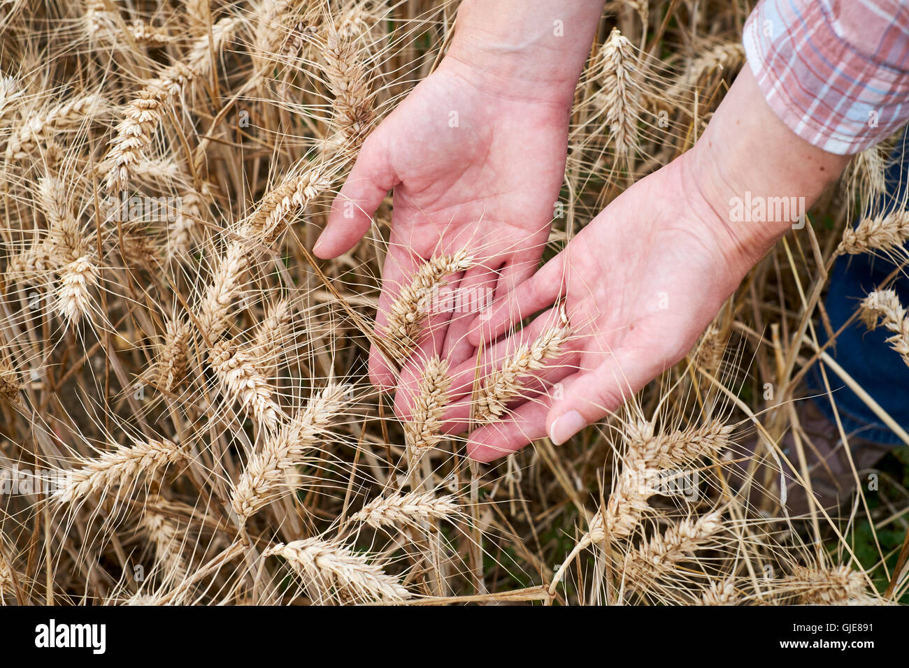 Female hands inspecting ripe ears of wheat prior to harvesting, UK. - Stock Image