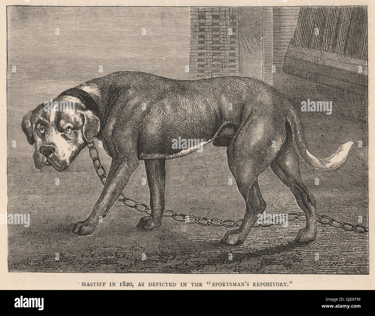 DOGS. Mastiff in 1820, as depicted in the 'Sportsman's repository', print 1881 - Stock Image