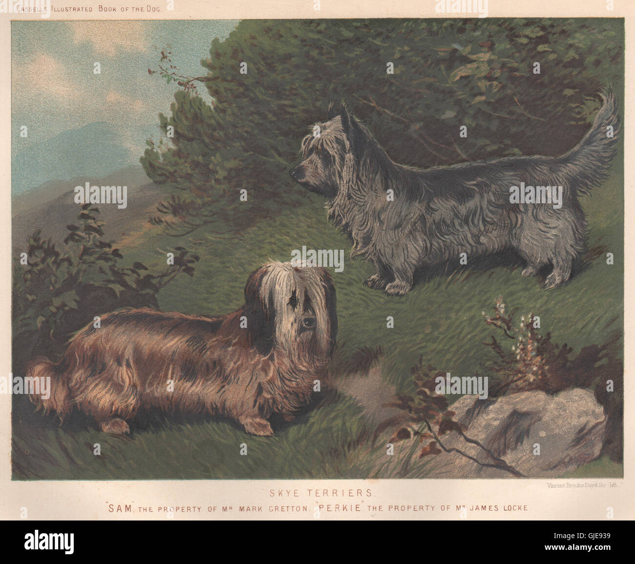 DOGS. Skye Terriers; 'Sam', antique print 1881 - Stock Image