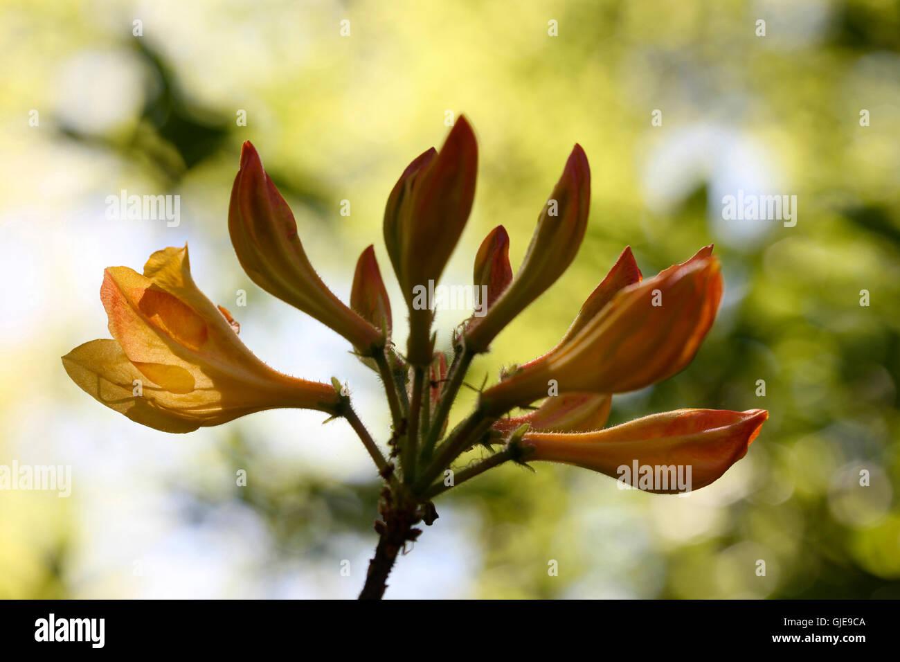 beautiful yellow azalea buds emerging - new life Jane Ann Butler Photography JABP1573 - Stock Image