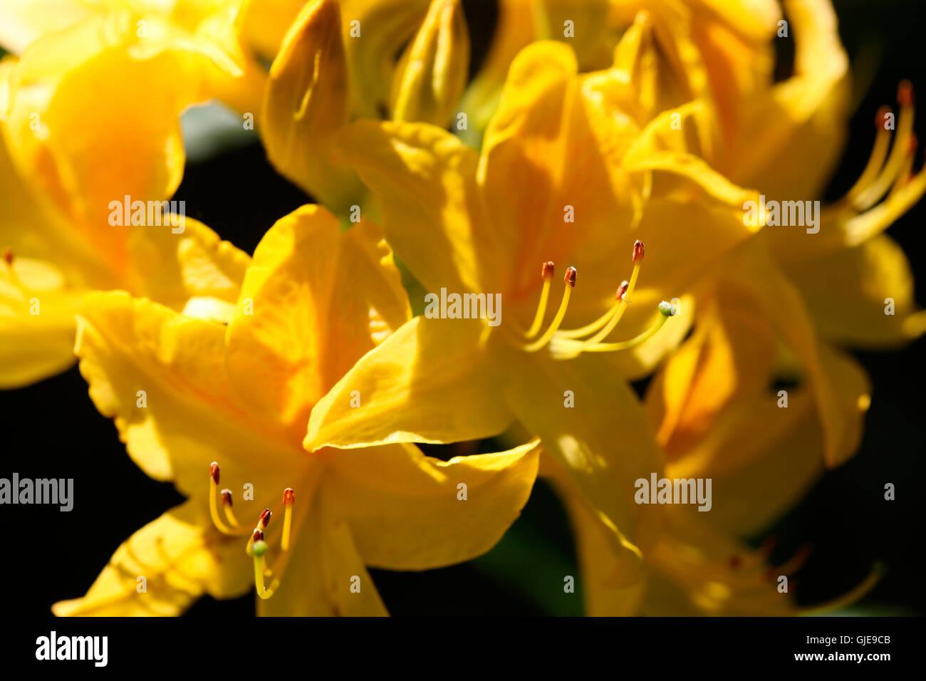 beautiful yellow azaleas flourishing in Spring Jane Ann Butler Photography JABP1575 - Stock Image