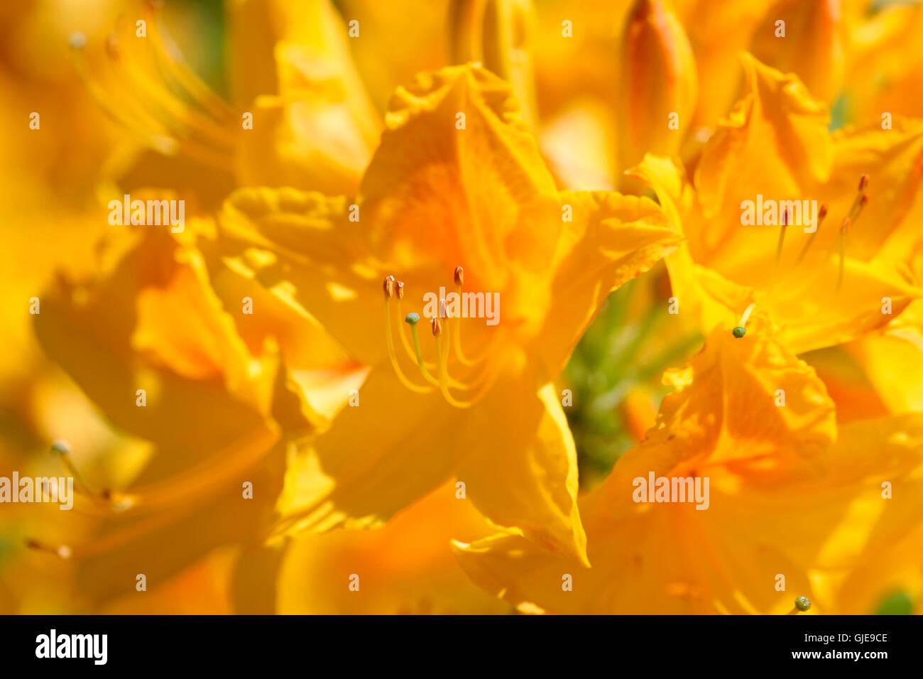 beautiful yellow azaleas flourishing in Spring Jane Ann Butler Photography JABP1572 - Stock Image