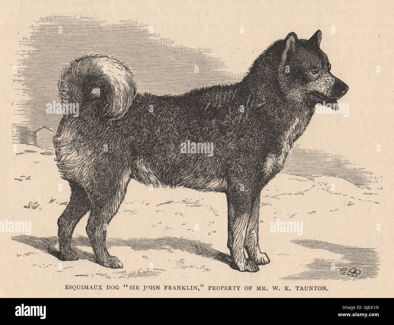 DOGS. Esquimaux Dog 'Sir John Franklin', antique print 1881 - Stock Image