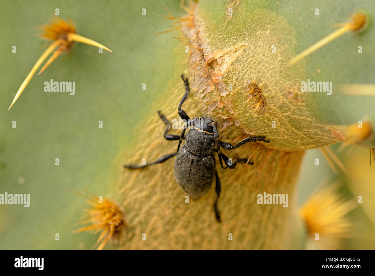 Cactus long-horned beetle (Moneilema spp.), Rio Grande City, Texas, USA - Stock Image