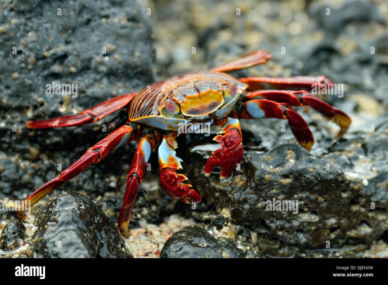 Sally Lightfoot Crab (Grapsus grapsus), Galapagos Islands National Park, Santa Cruz Is., Dragon Hill, Ecuador - Stock Image
