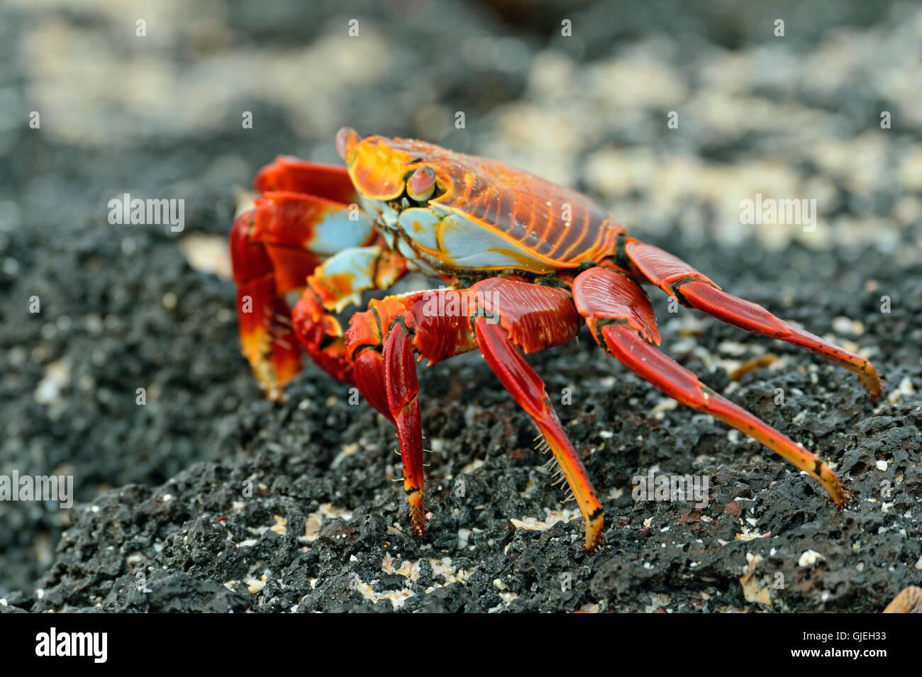 Sally Lightfoot Crab (Grapsus grapsus), Galapagos Islands National Park, Santa Cruz Is., Las Bachas Beach, Ecuador - Stock Image