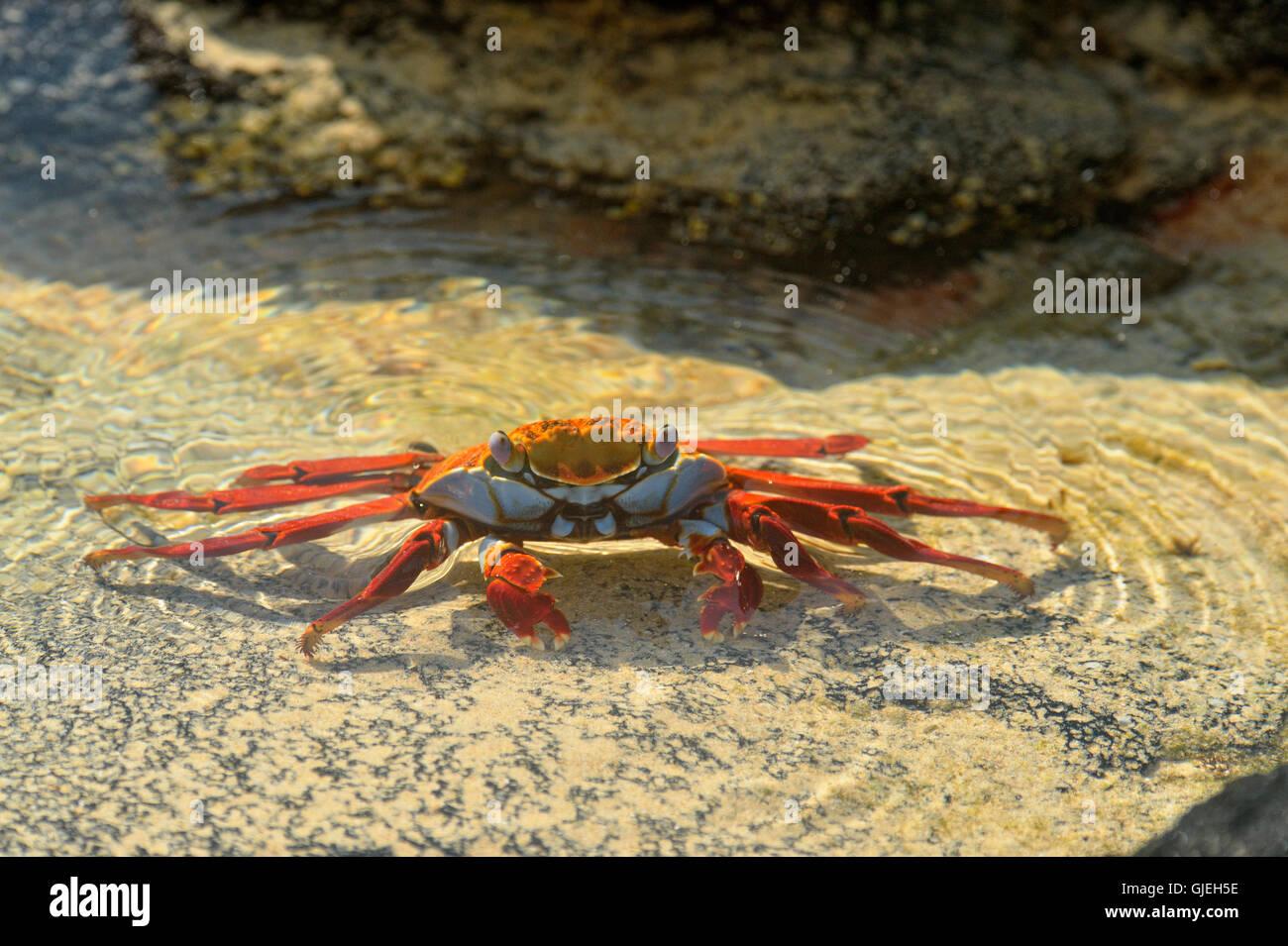 Sally Lightfoot Crab (Grapsus grapsus), Galapagos Islands National Park, Floreana Island, Ecuador - Stock Image
