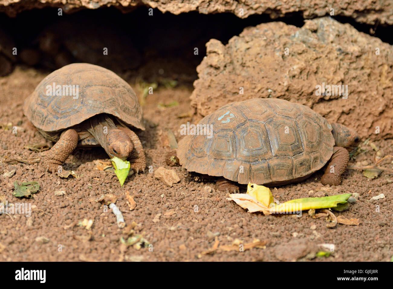 Galapagos giant tortoise (Geochelone elephantopus) baby Hoodensis subspecies, Darwin Research Station, Puerto Aroya, - Stock Image