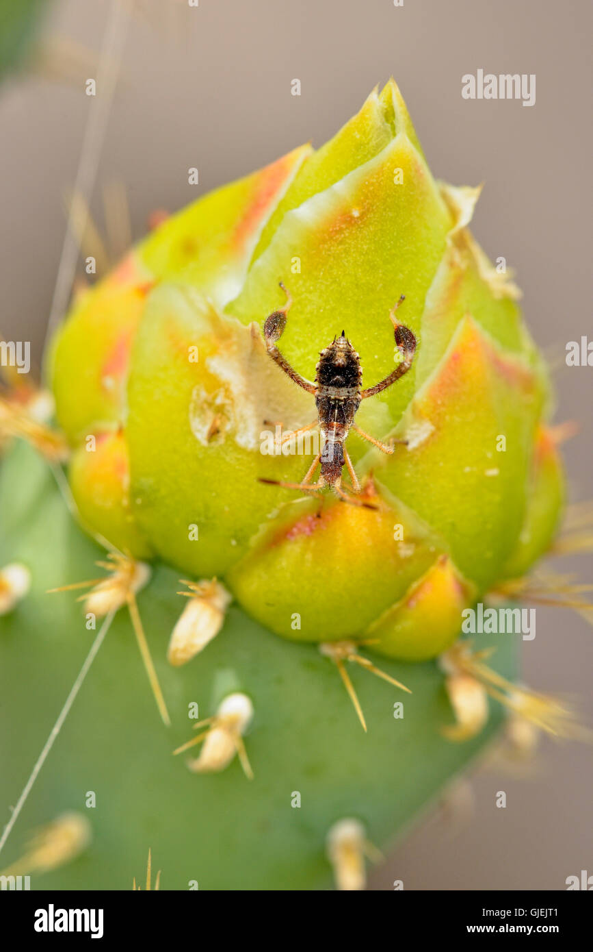 Cactus bug (Narnia spp.) and prickly pear cactus flower bud, Rio Grande City, Texas, USA - Stock Image