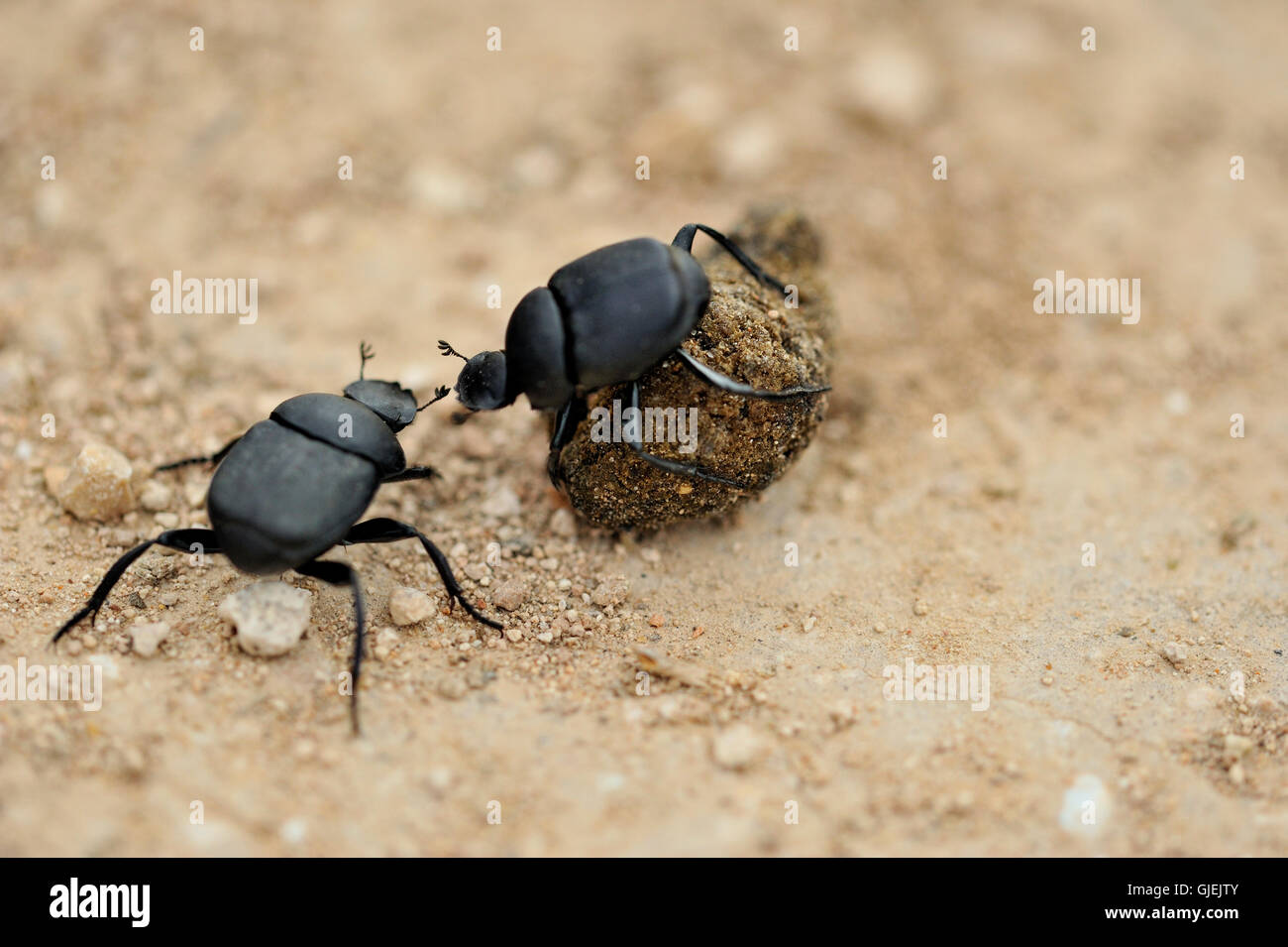 Dung beetle rolling a ball of domestic dog dung, Rio Grande City, Texas, USA - Stock Image