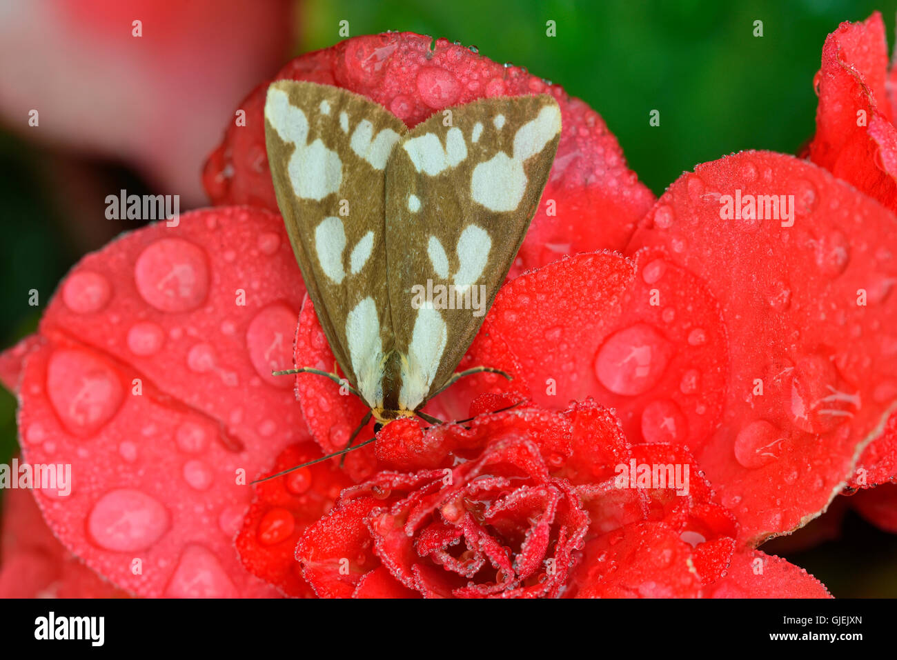Confused Haploa moth (Haploa confusa) Resting on red garden flowers, with raindrops, Greater Sudbury, Ontario, Canada - Stock Image