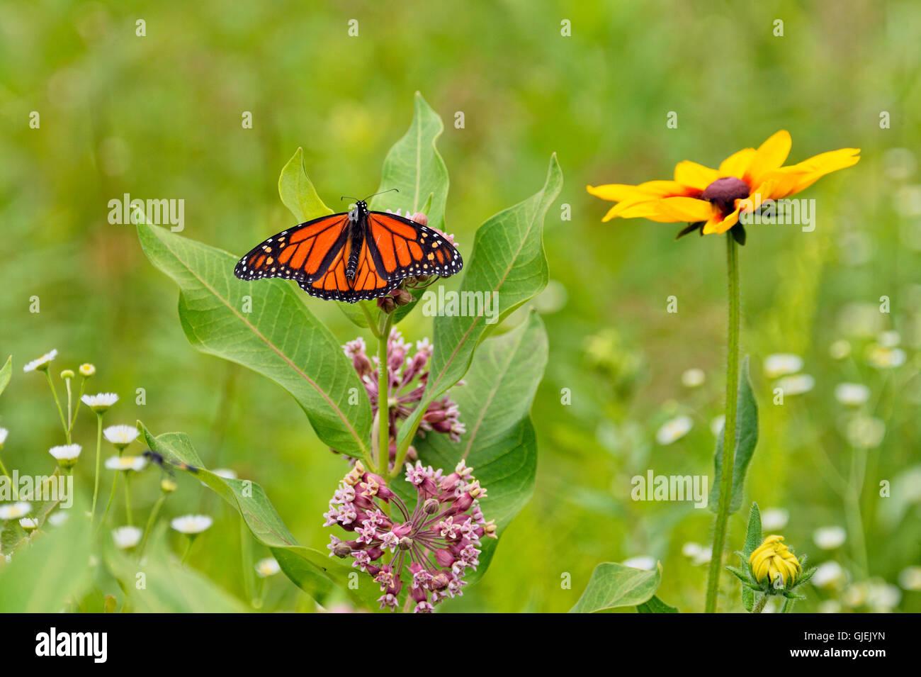 Monarch (Danaus plexippus) nectaring host milkweed flowers, Greater Sudbury, Ontario, Canada - Stock Image