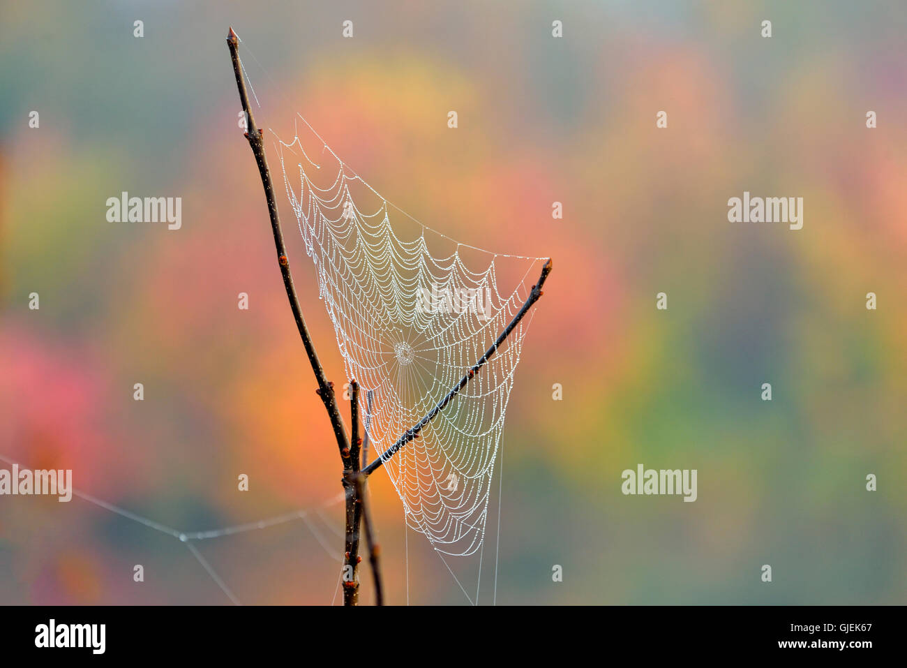 Dewy orb web and autumn foliage, Greater Sudbury, Ontario, Canada - Stock Image