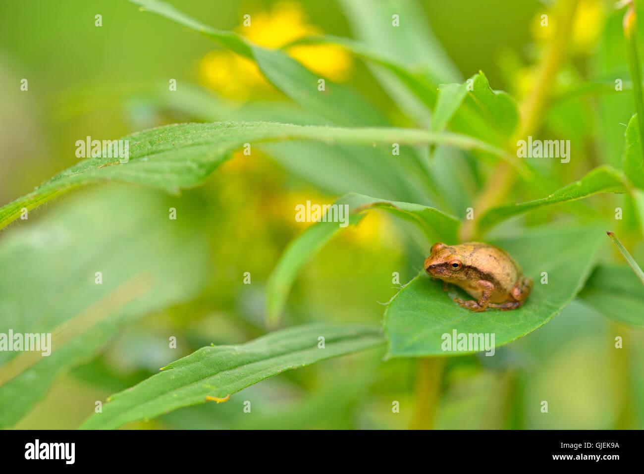Spring peeper (Hyla crucifer) resting on a leaf, Greater Sudbury, Ontario, Canada - Stock Image