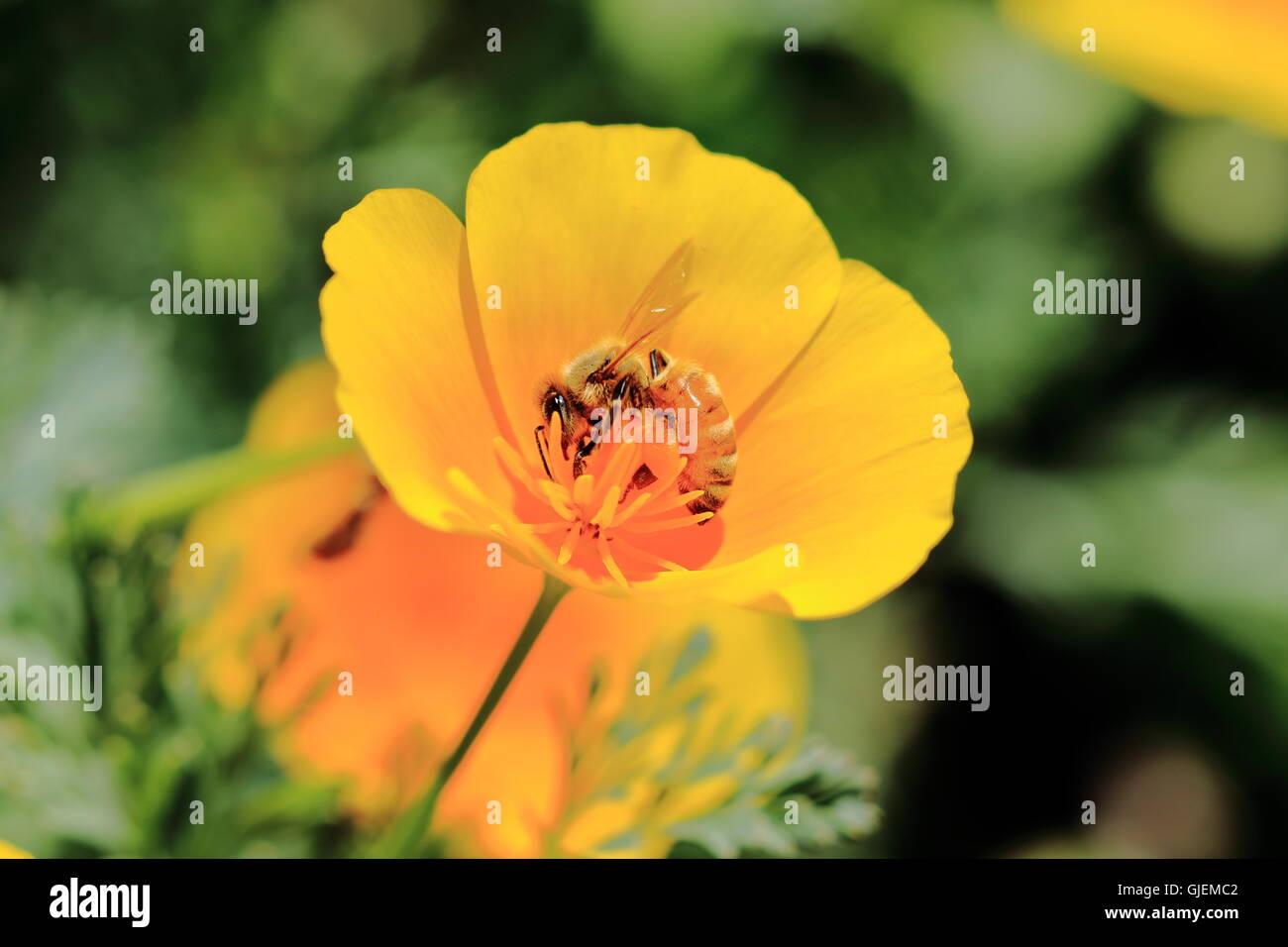 California Poppy, Eschscholzia californica with bee. - Stock Image