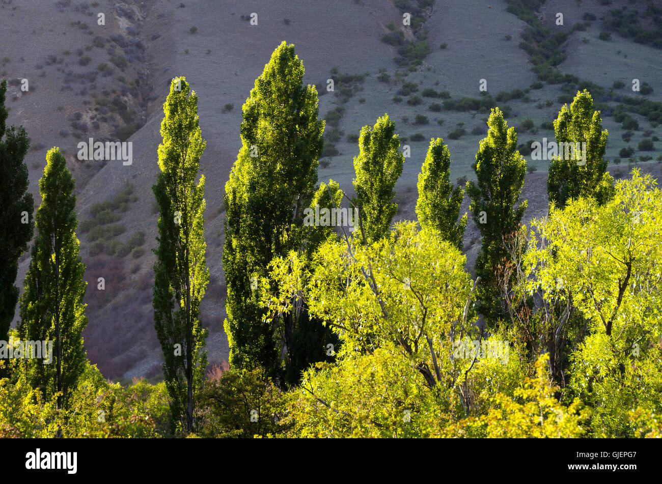 Poplar trees, Muzzle Station, Clarence River, South Island, New Zealand - Stock Image