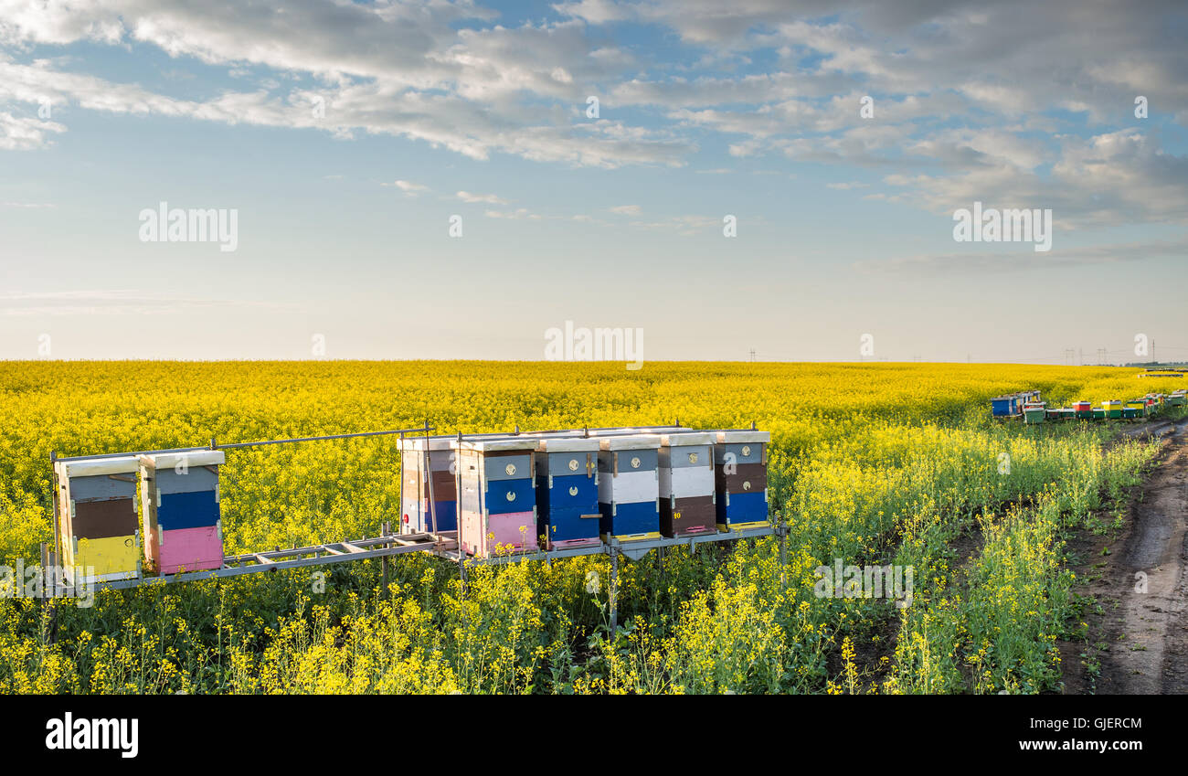 Apiary in the field of rapeseed - Stock Image