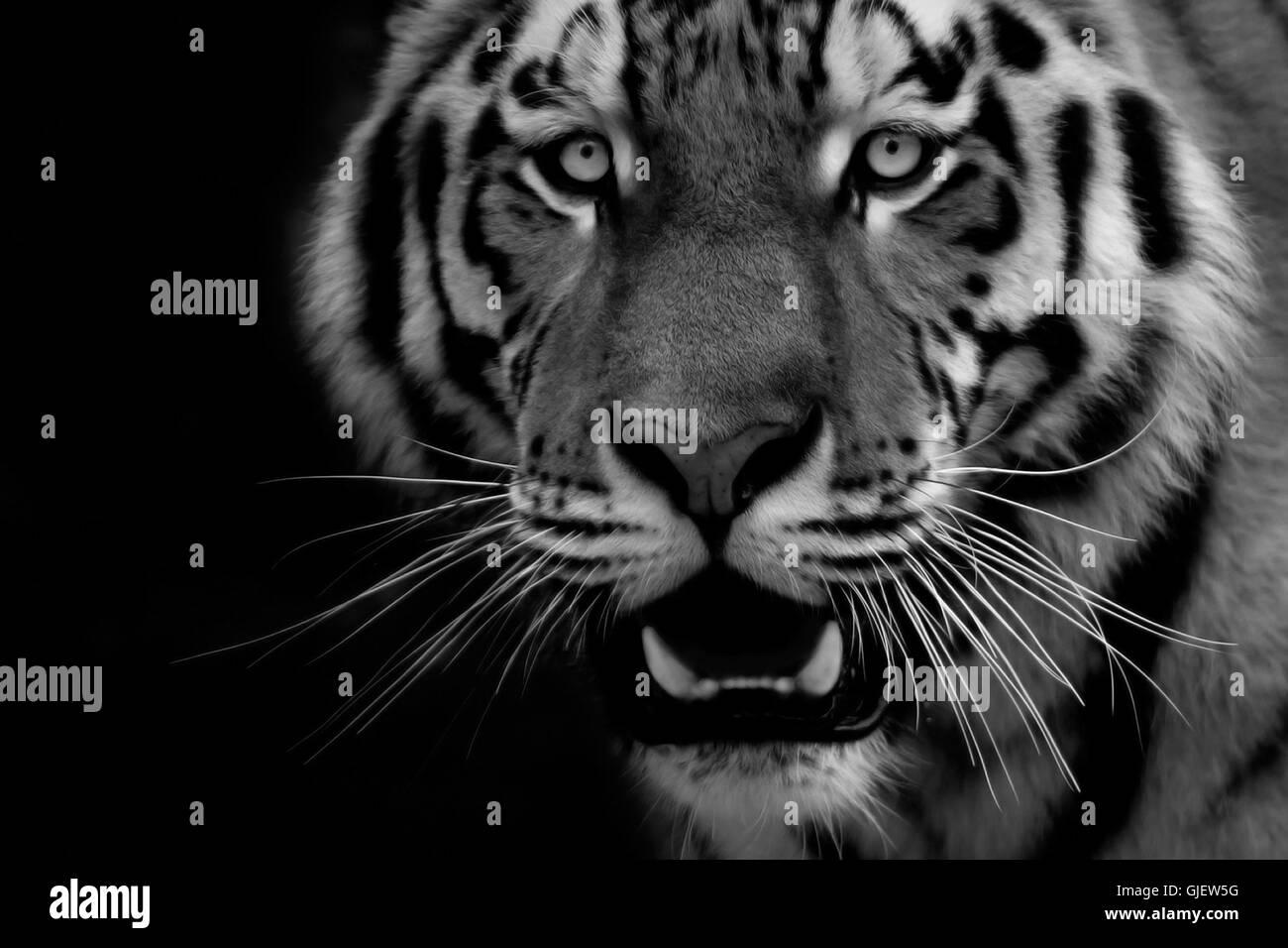 tiger portrait 1 - Stock Image