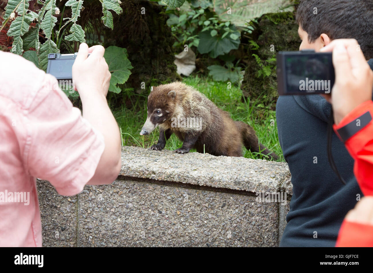 Children taking photos of a coati ( Coatimundi ), Poas Volcano National Park, Costa Rica, Central America - Stock Image