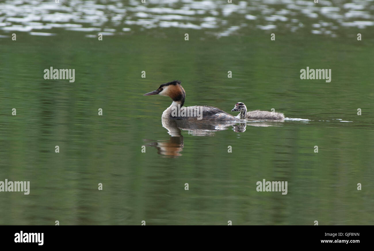 Great Crested Grebe-Podiceps cristatus swims with chick. Uk - Stock Image