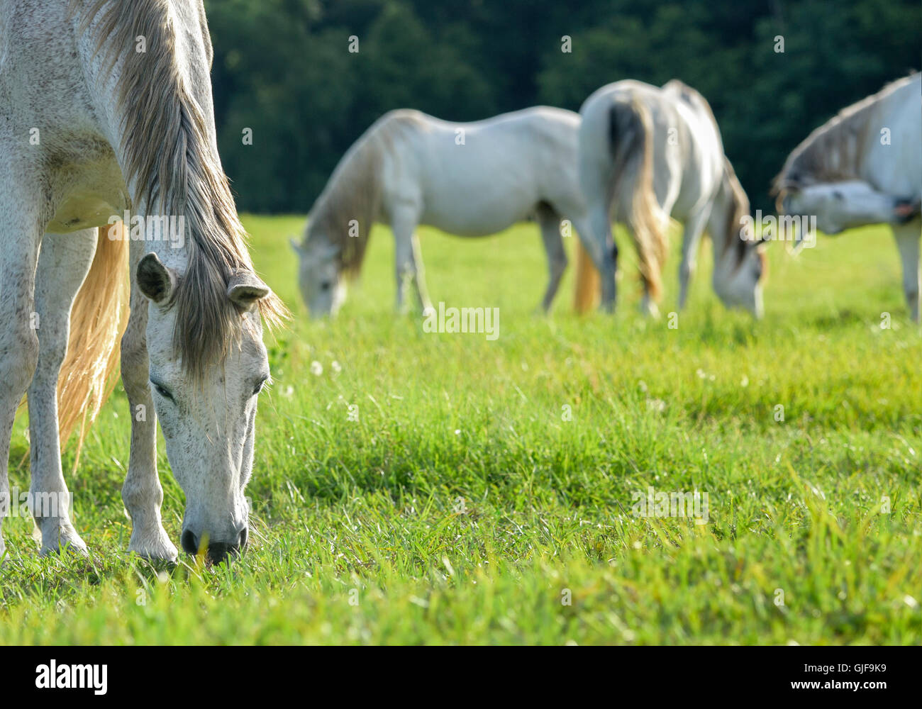 Andalusian horse mares grazing in lush green grass pasture - Stock Image