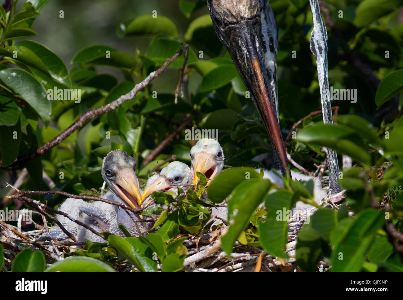 The parent wood stork stands protectively over its young nestlings before a feeding session. - Stock Image