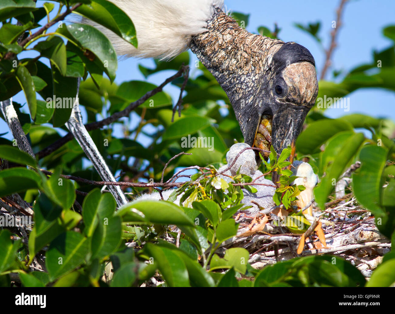 Parent wood stork regurgitates partially digested fish into the mouths of its nestlings. - Stock Image