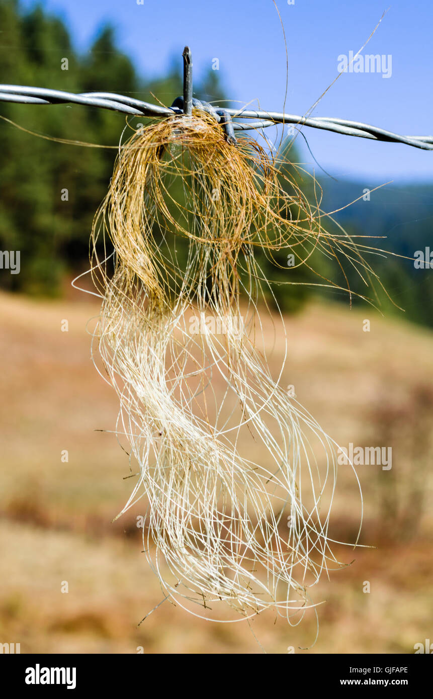 Horsehair on barbed wire fence - Stock Image